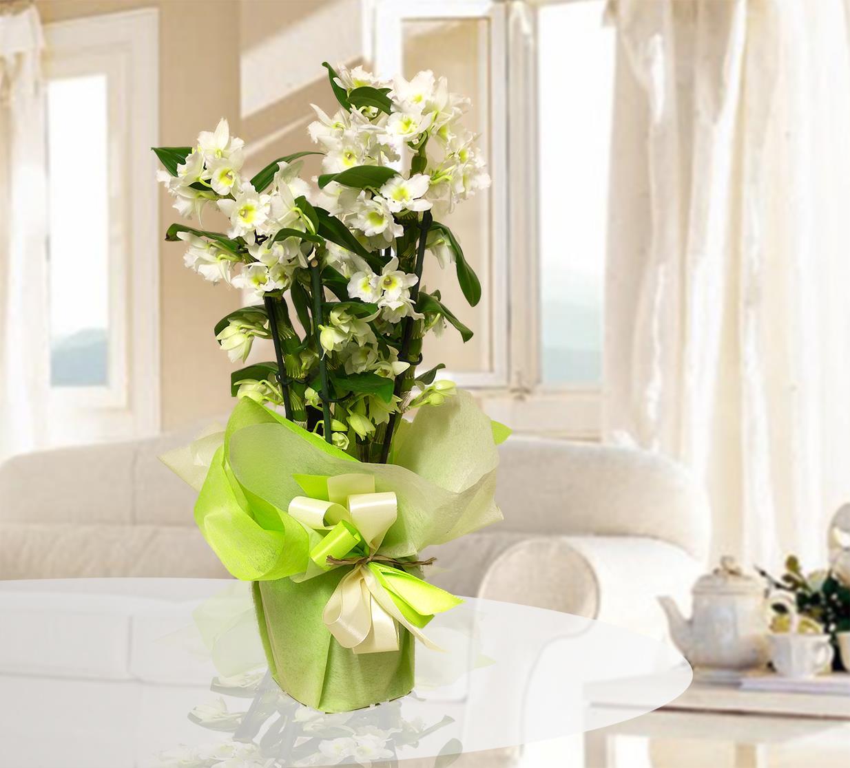 Mauro abati fiorista web piante verdi e fiorite for Orchidea prezzo