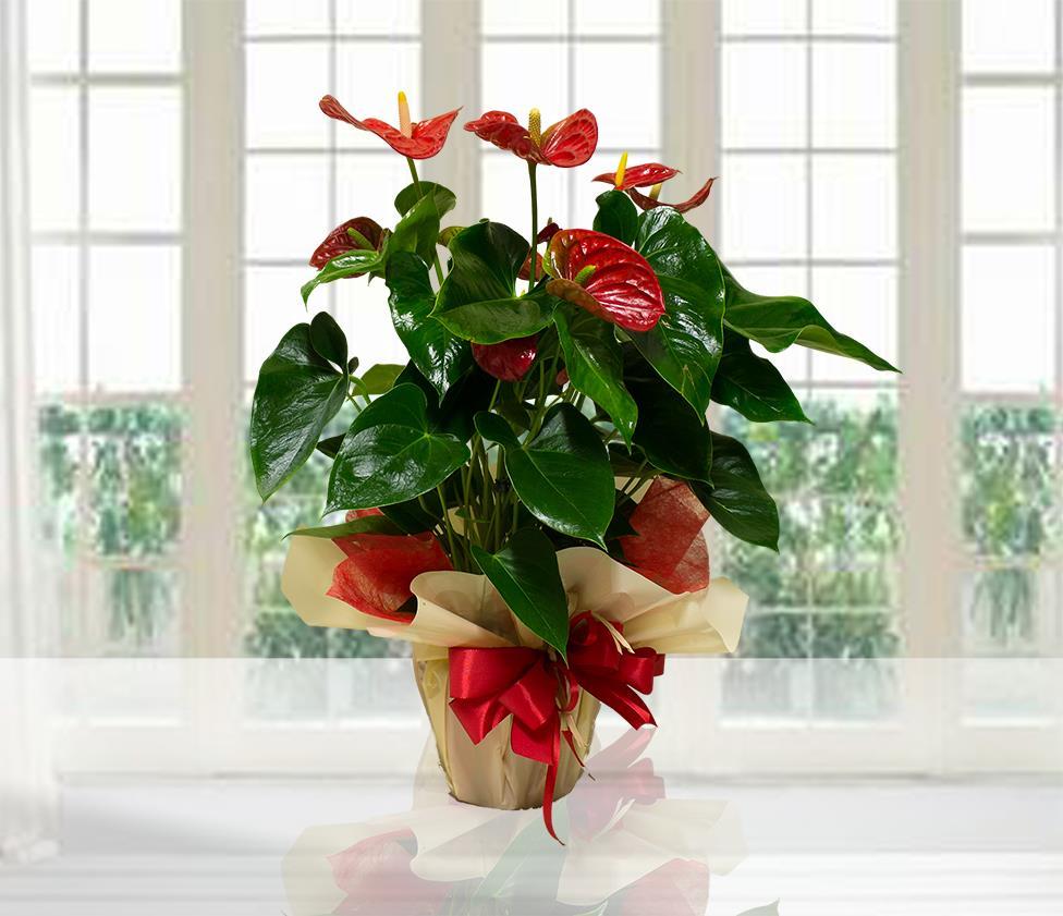 Mauro abati fiorista web anthurium rosso for Anthurium rosso
